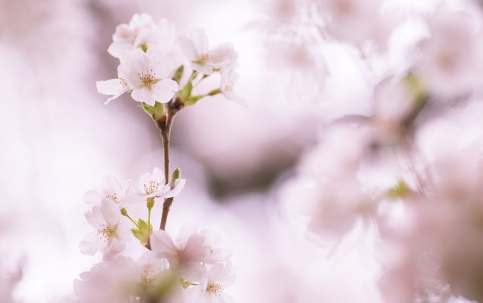 Sakura | A Celebration of Spring